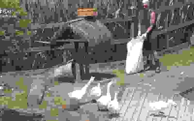 """""""Tão vindo me atacar"""", diz Lipe sobre gansos - A Fazenda 12"""